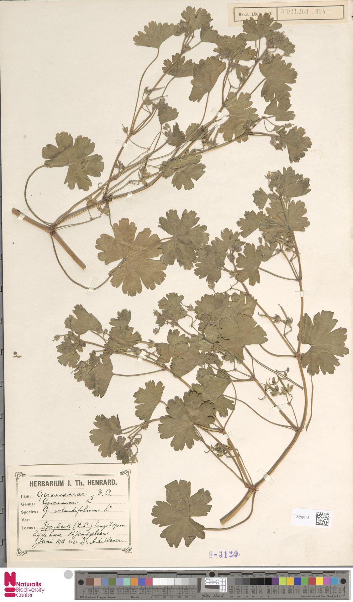 L.3299823   Geranium rotundifolium L.