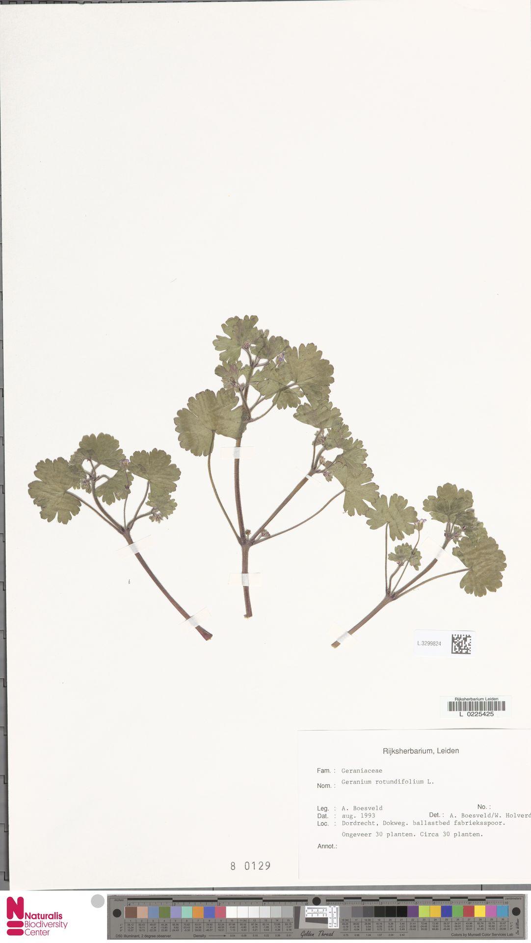 L.3299824 | Geranium rotundifolium L.