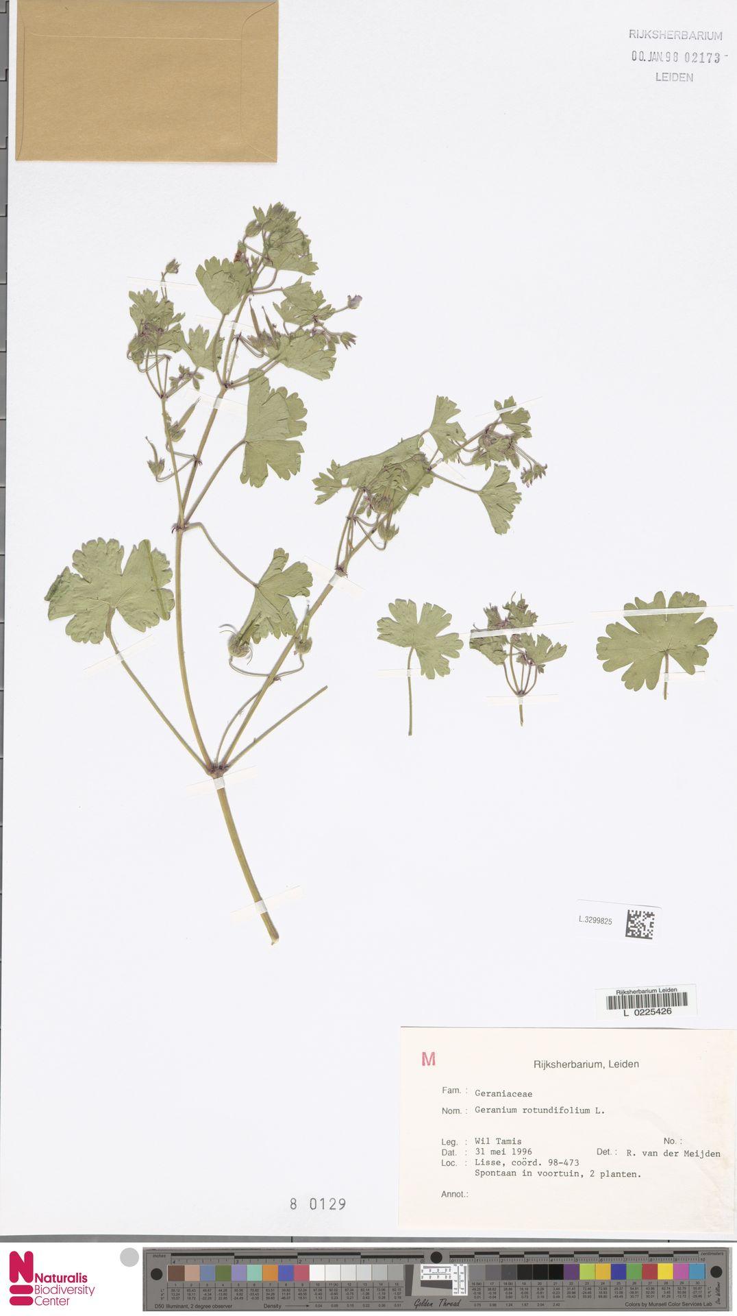 L.3299825 | Geranium rotundifolium L.