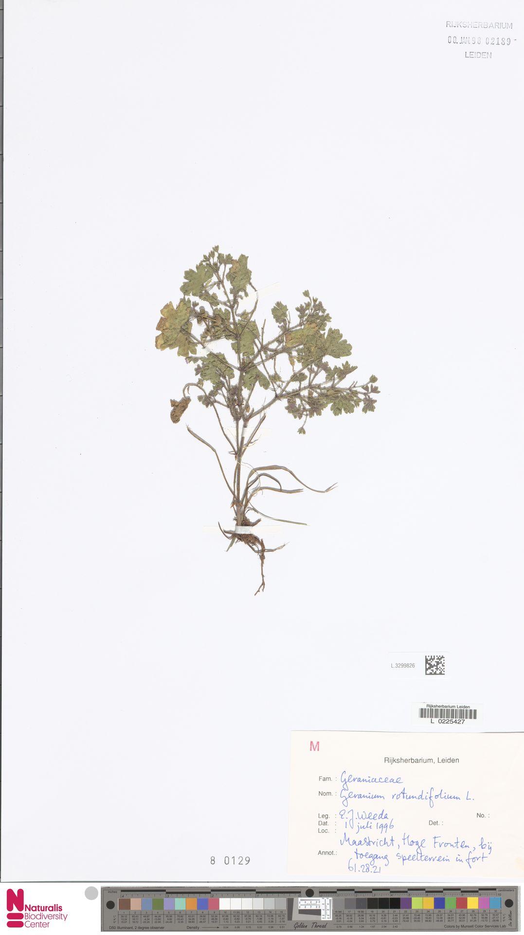 L.3299826 | Geranium rotundifolium L.