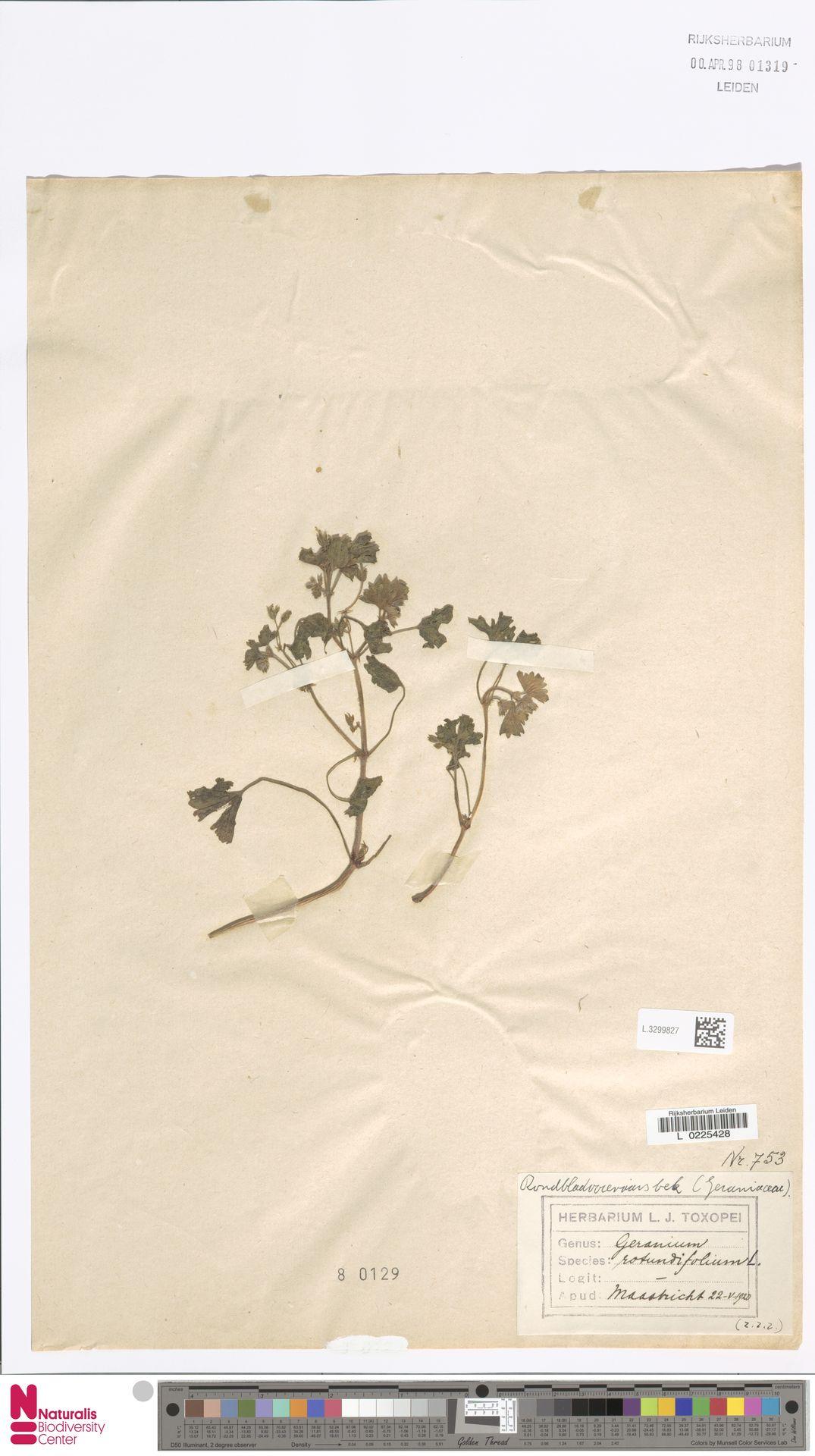 L.3299827 | Geranium rotundifolium L.
