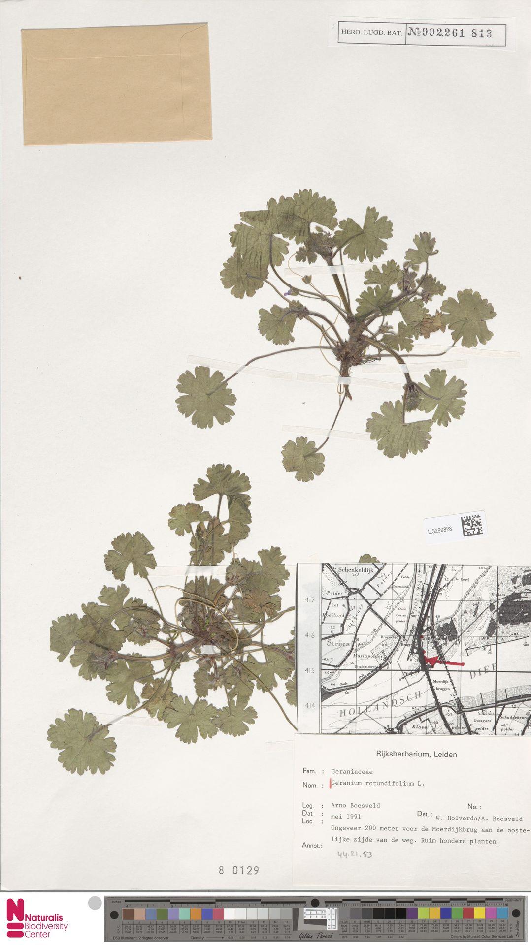 L.3299828 | Geranium rotundifolium L.
