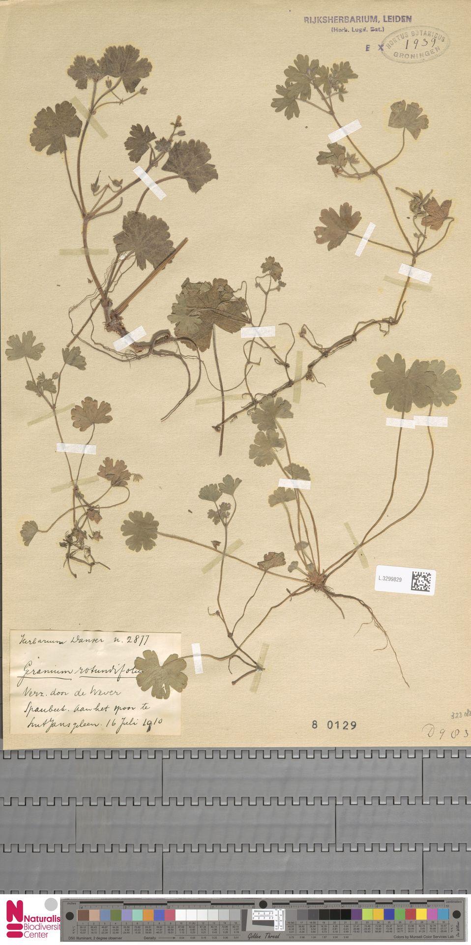 L.3299829   Geranium rotundifolium L.