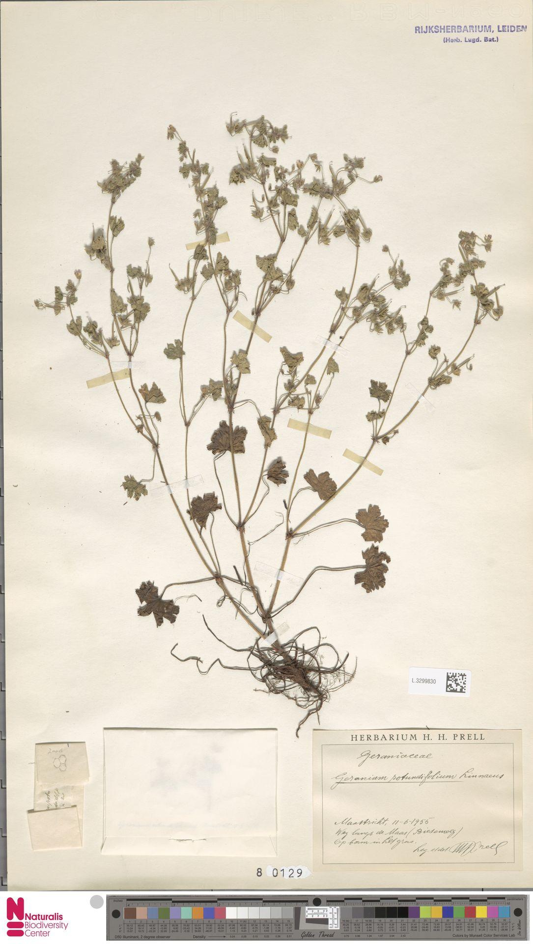 L.3299830 | Geranium rotundifolium L.