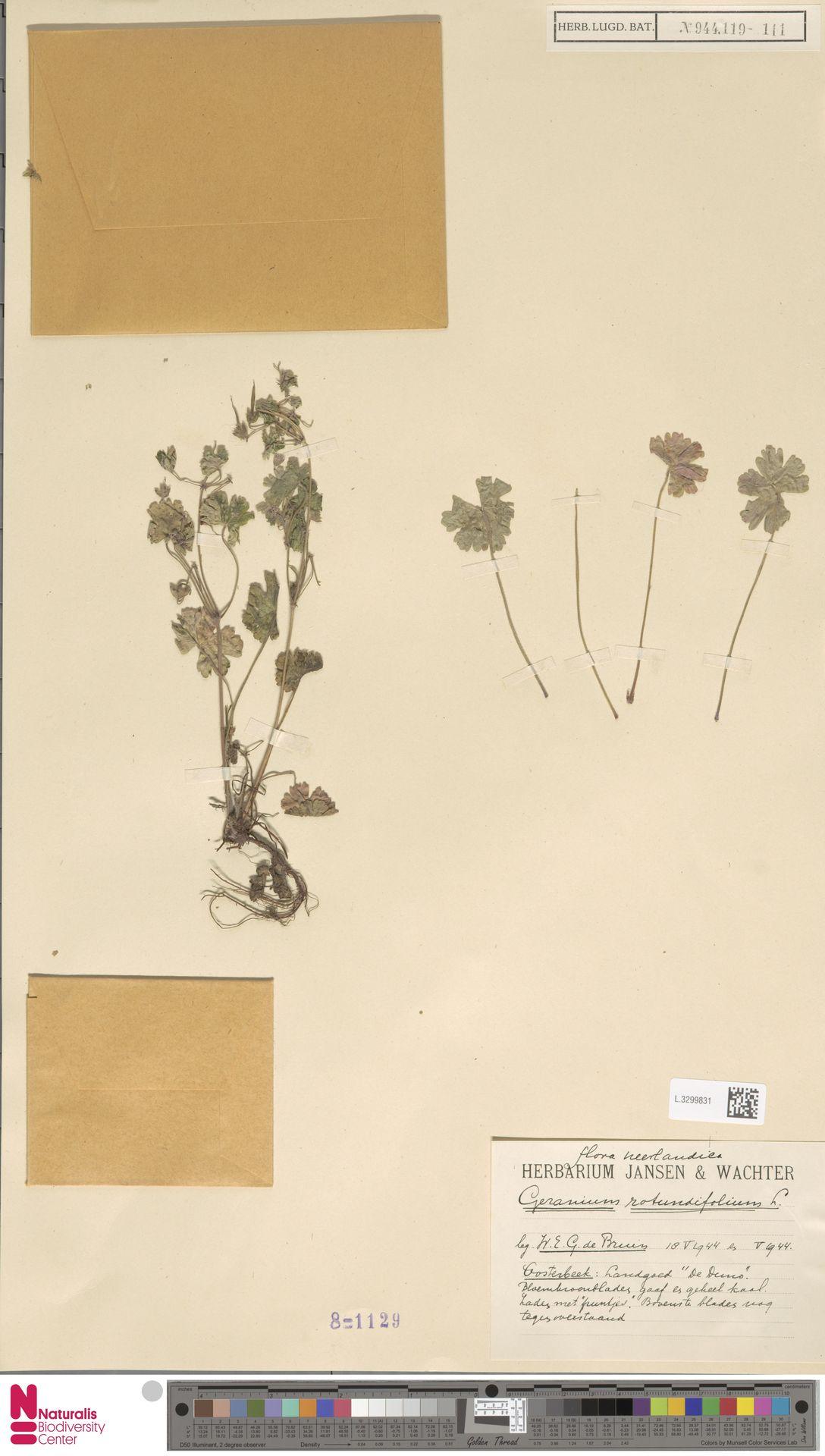 L.3299831 | Geranium rotundifolium L.