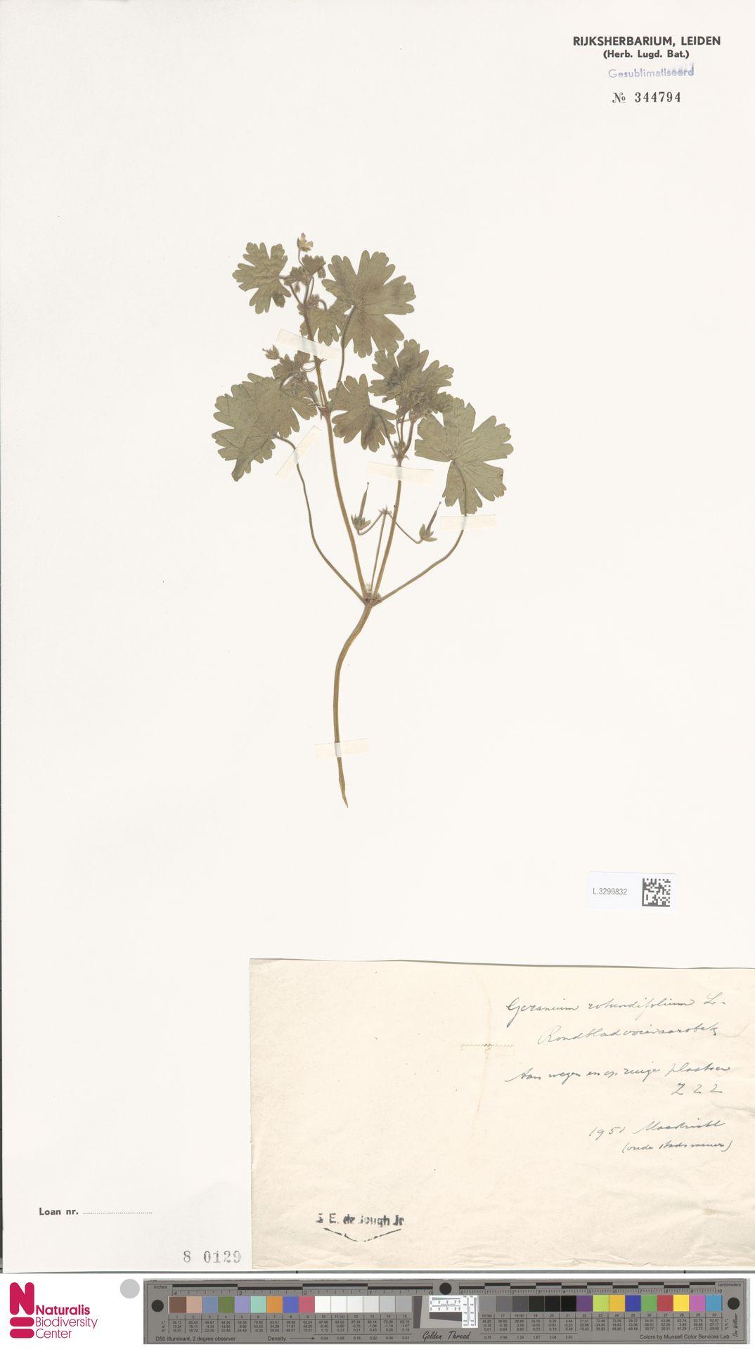 L.3299832 | Geranium rotundifolium L.