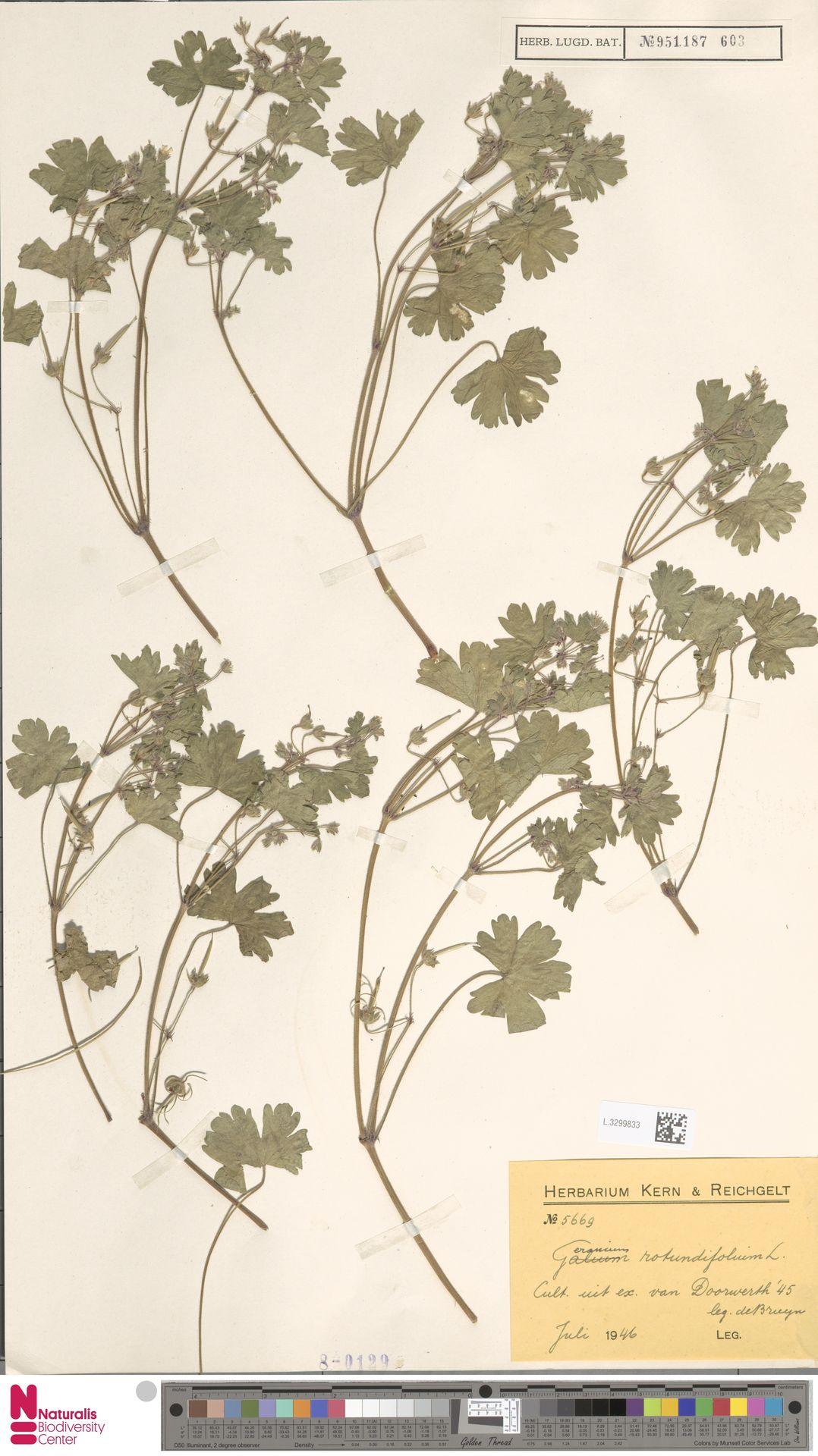 L.3299833 | Geranium rotundifolium L.