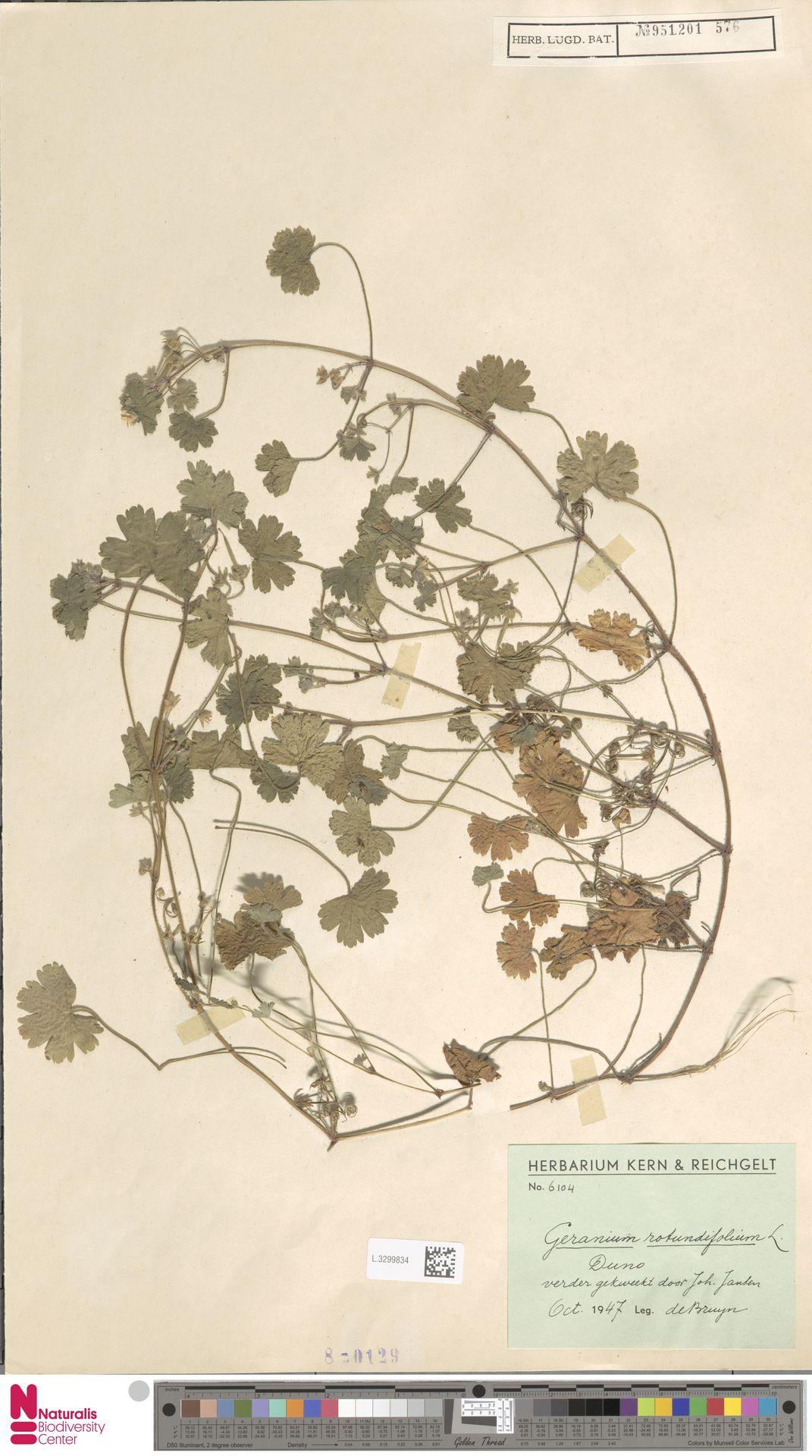 L.3299834 | Geranium rotundifolium L.