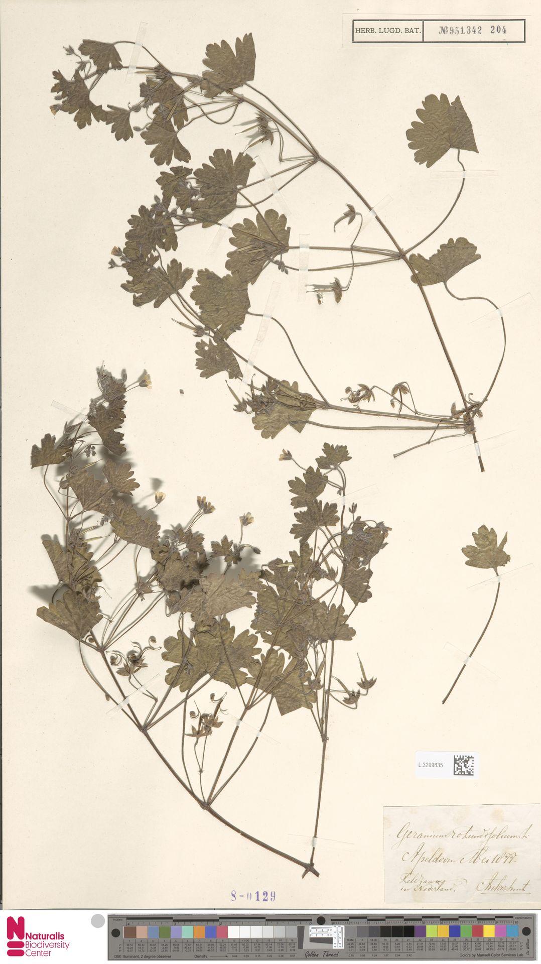 L.3299835 | Geranium rotundifolium L.