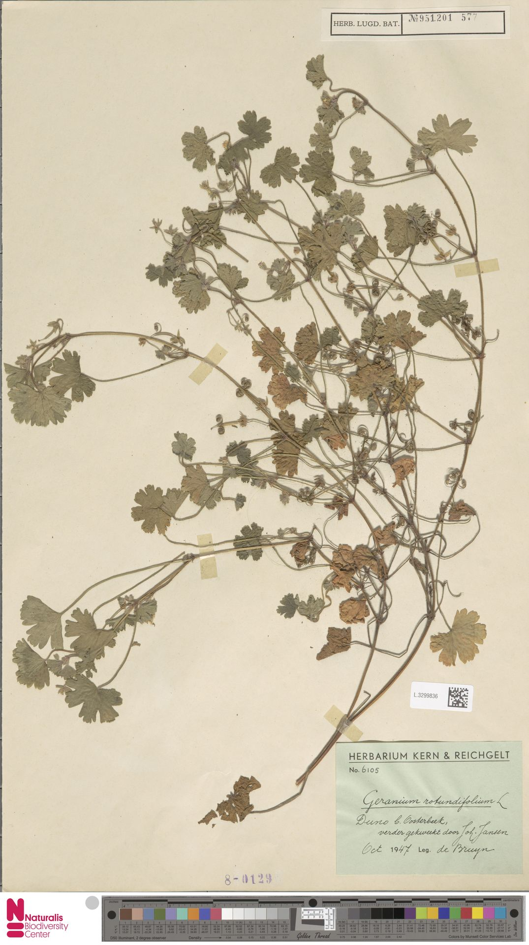 L.3299836 | Geranium rotundifolium L.
