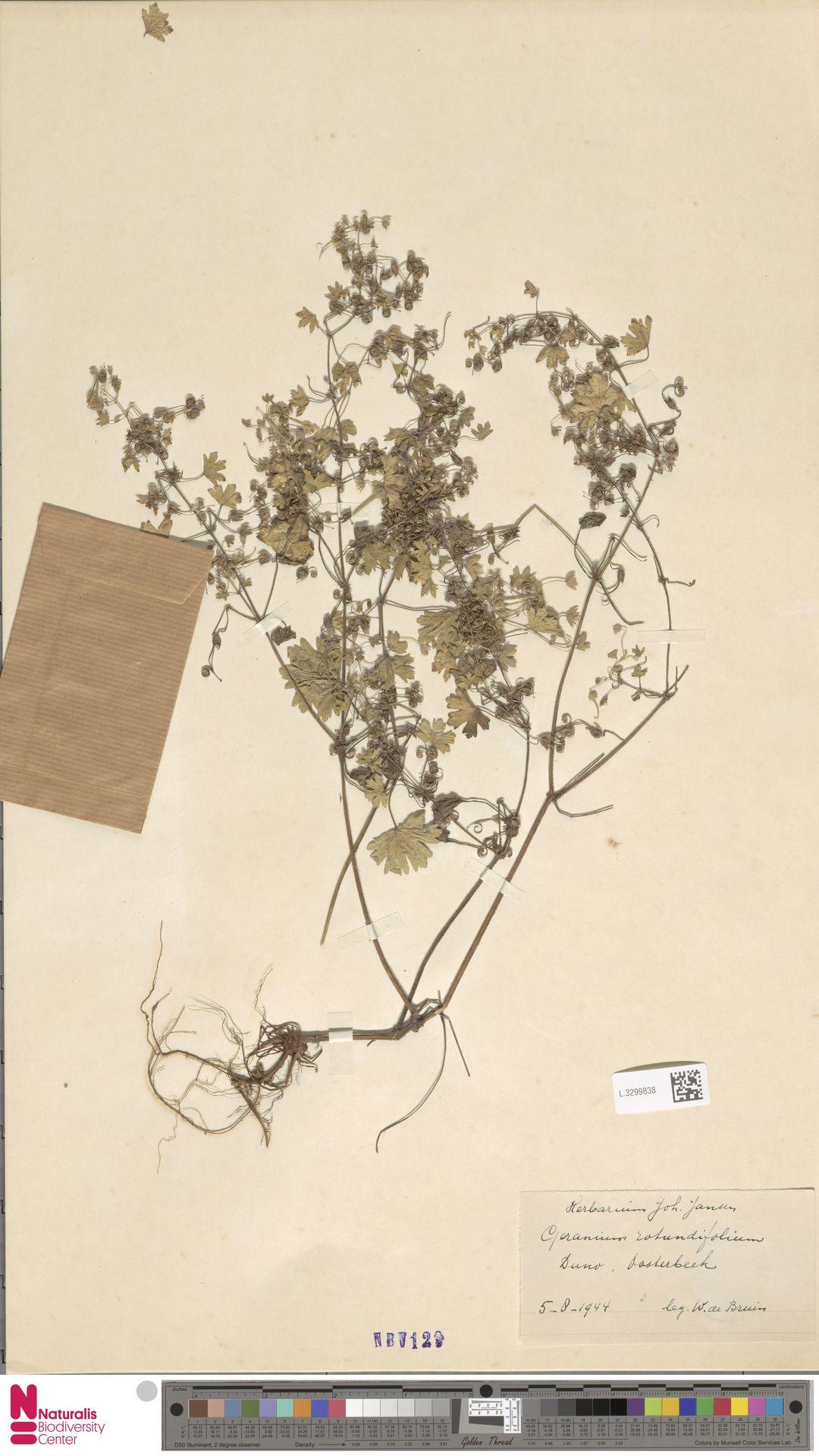 L.3299838 | Geranium rotundifolium L.