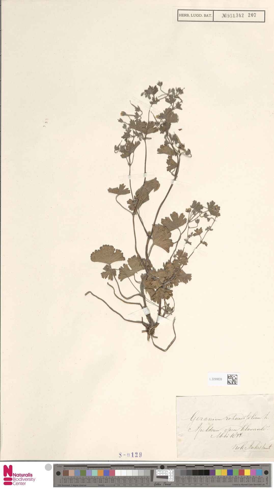 L.3299839   Geranium rotundifolium L.