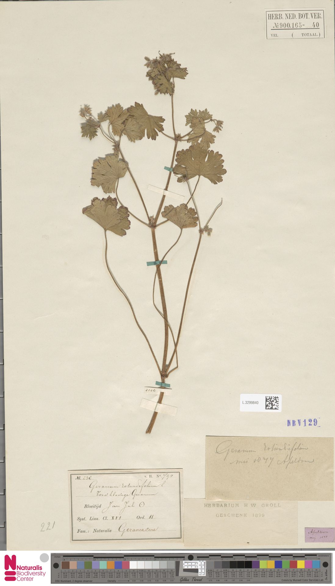 L.3299840 | Geranium rotundifolium L.