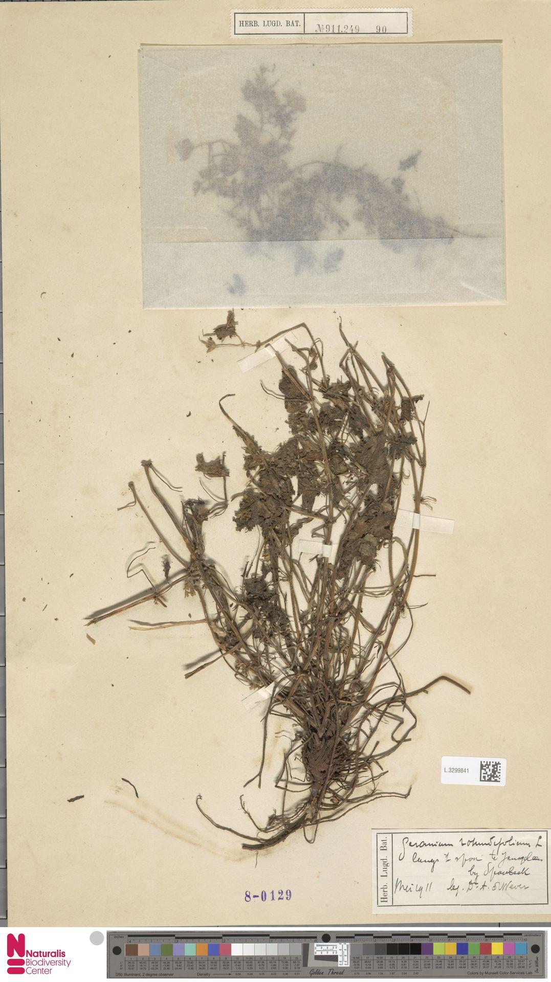 L.3299841   Geranium rotundifolium L.