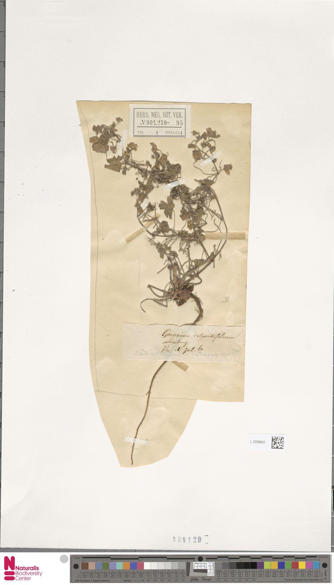 L.3299842 | Geranium rotundifolium L.