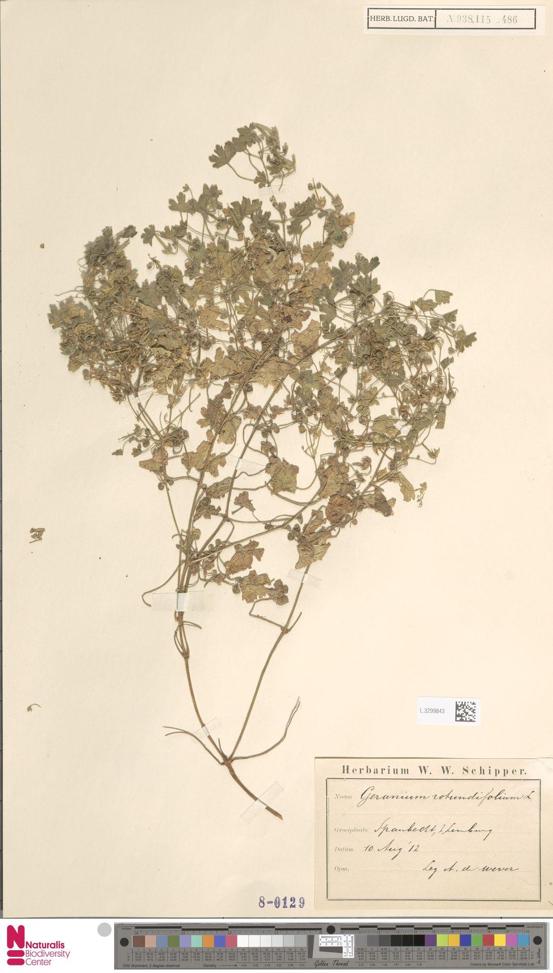 L.3299843 | Geranium rotundifolium L.