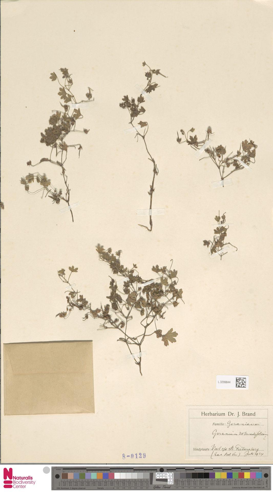 L.3299844 | Geranium rotundifolium L.