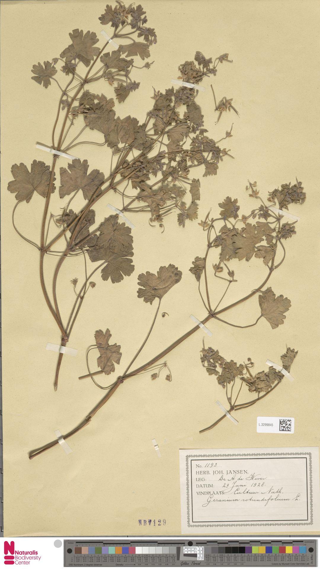 L.3299845   Geranium rotundifolium L.
