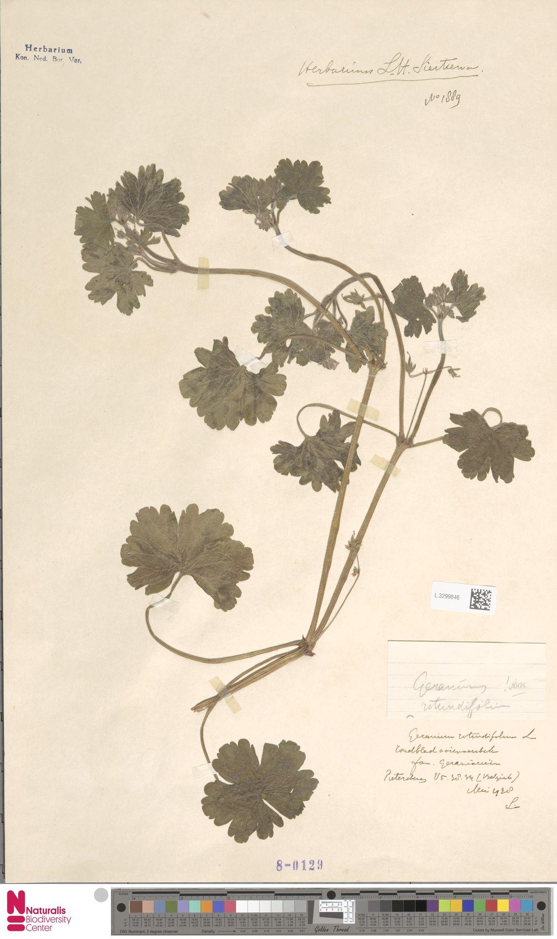 L.3299846   Geranium rotundifolium L.