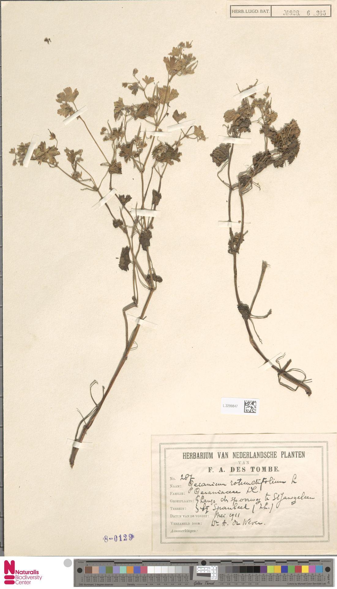 L.3299847 | Geranium rotundifolium L.