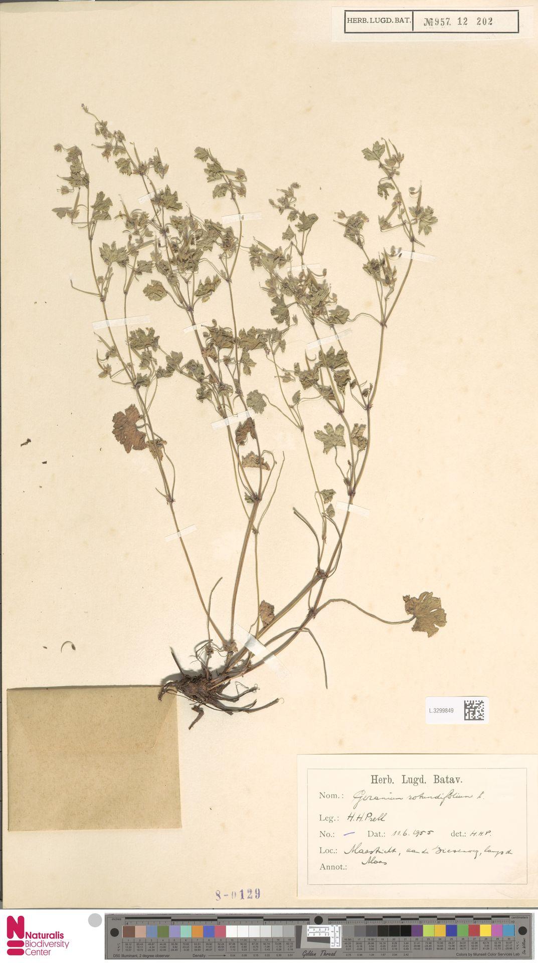 L.3299849 | Geranium rotundifolium L.