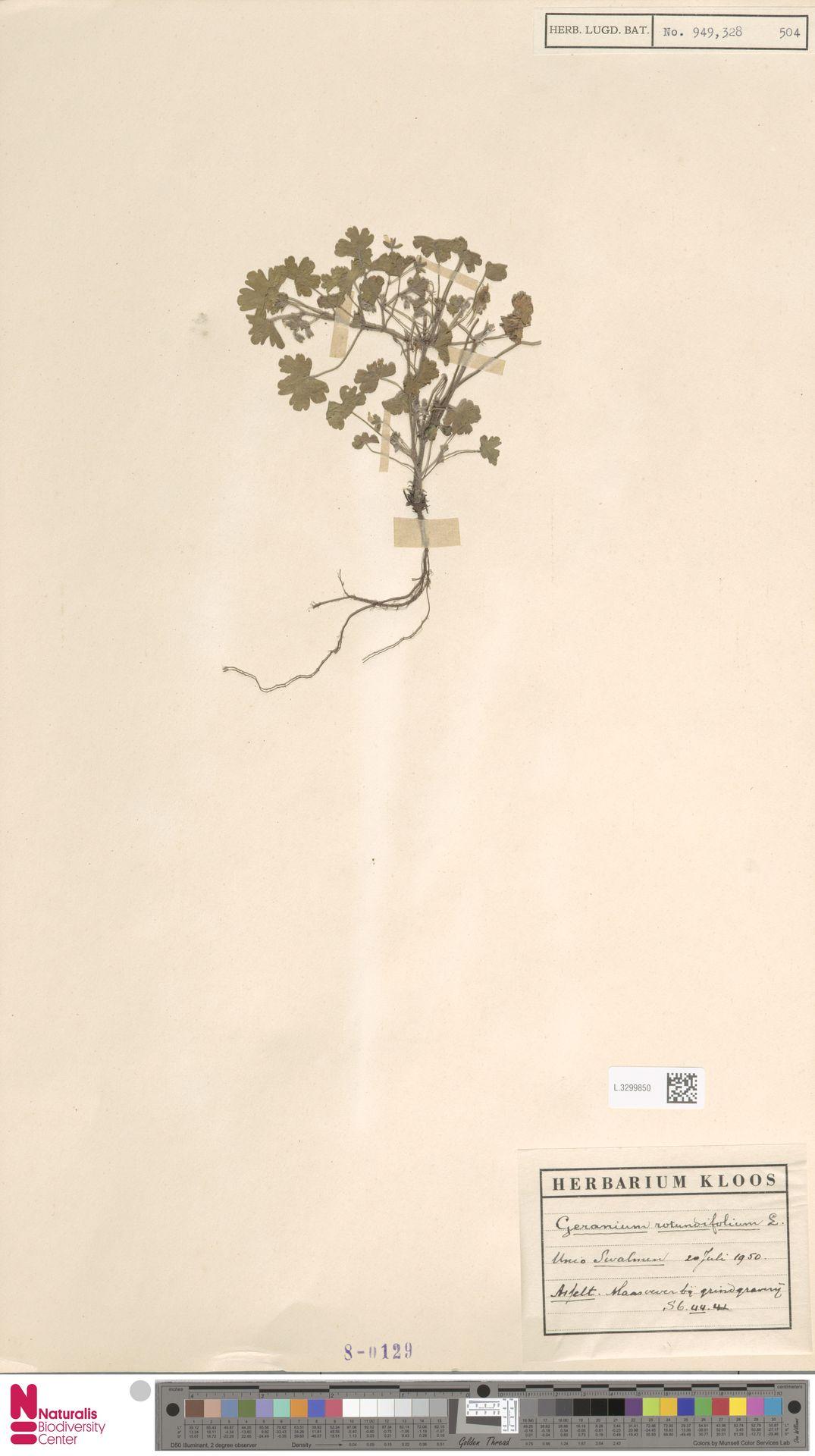 L.3299850 | Geranium rotundifolium L.
