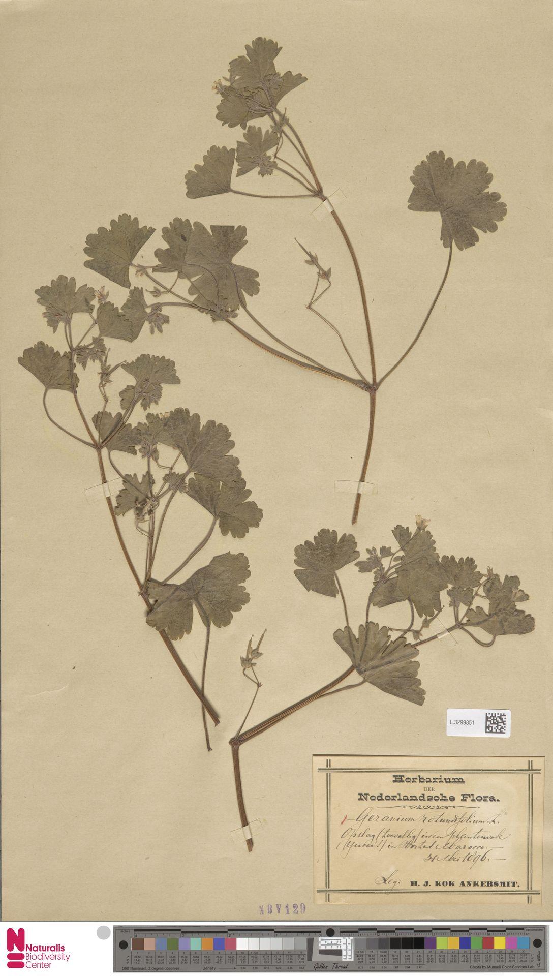 L.3299851 | Geranium rotundifolium L.