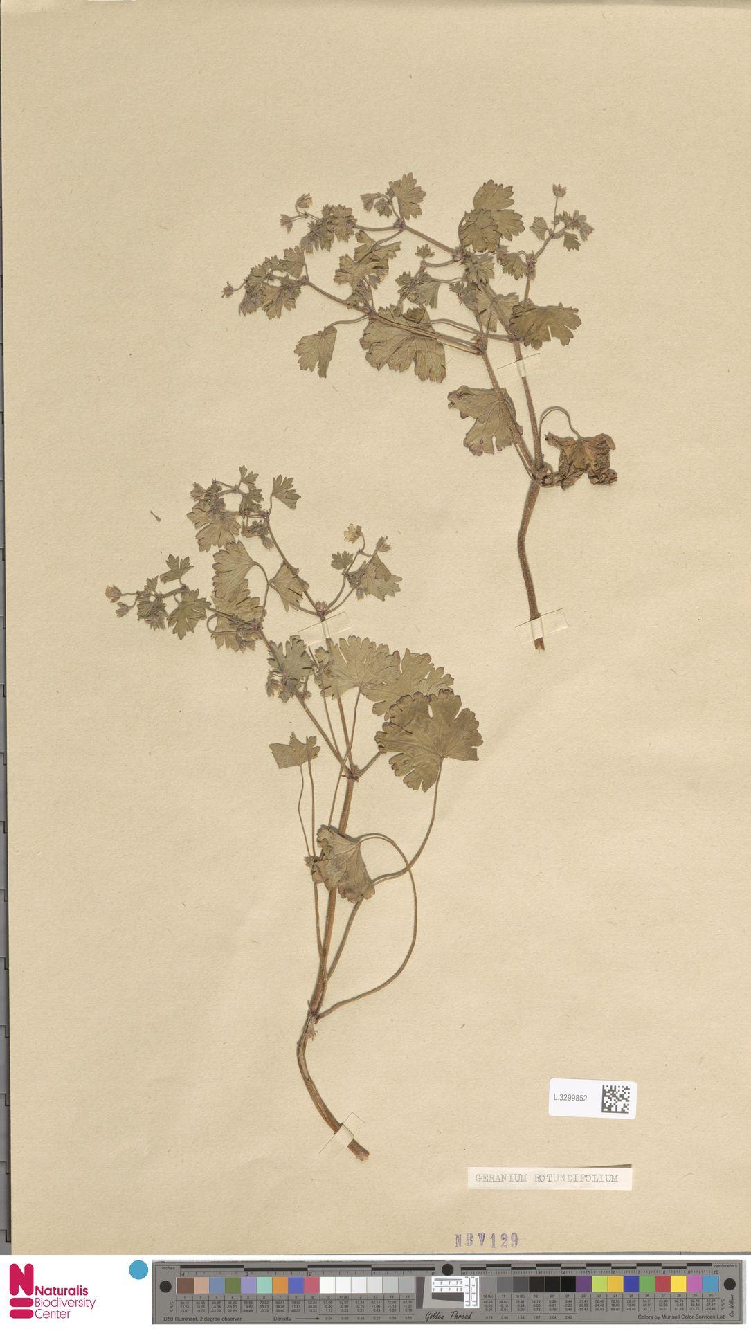 L.3299852 | Geranium rotundifolium L.