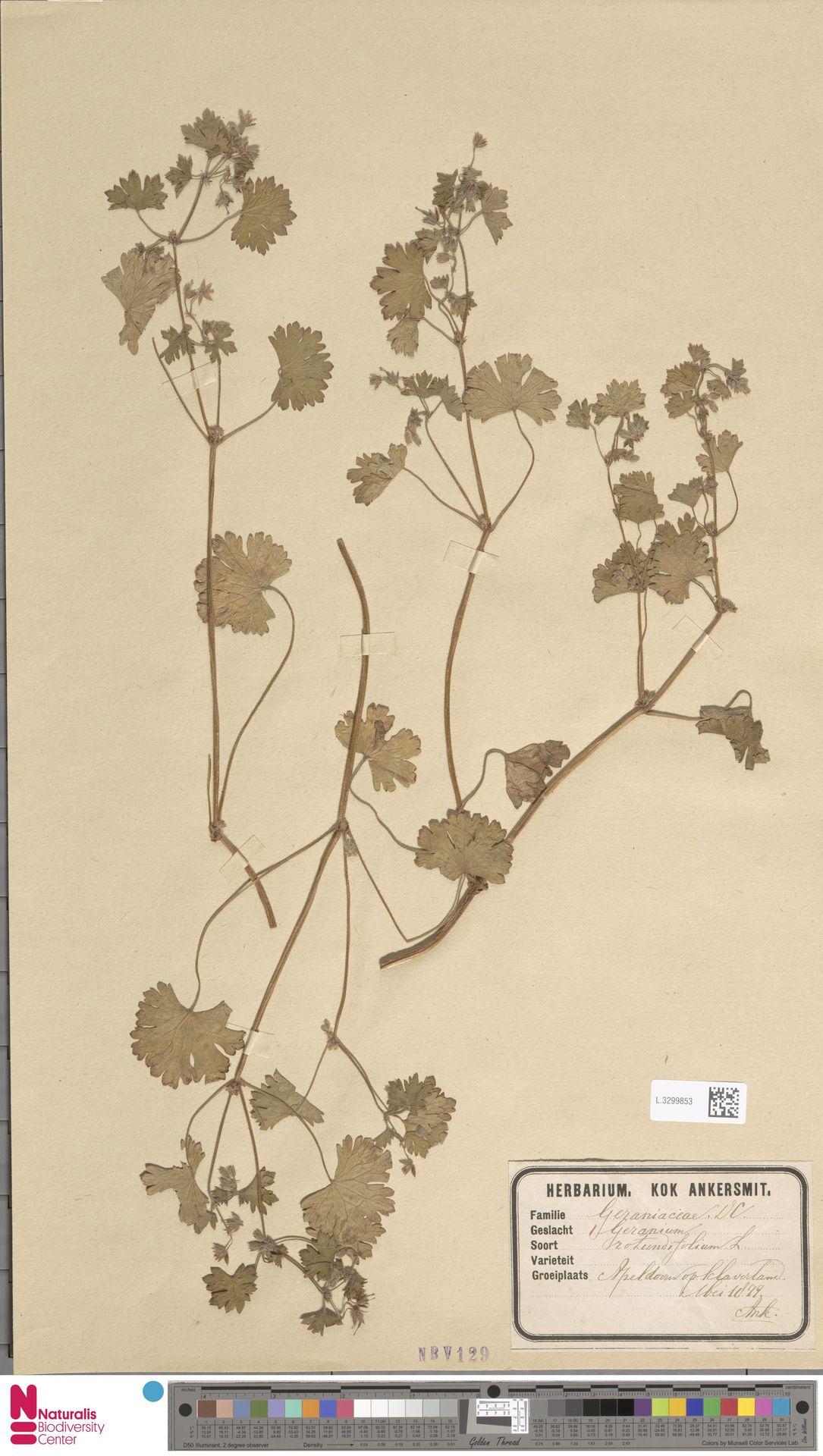 L.3299853 | Geranium rotundifolium L.