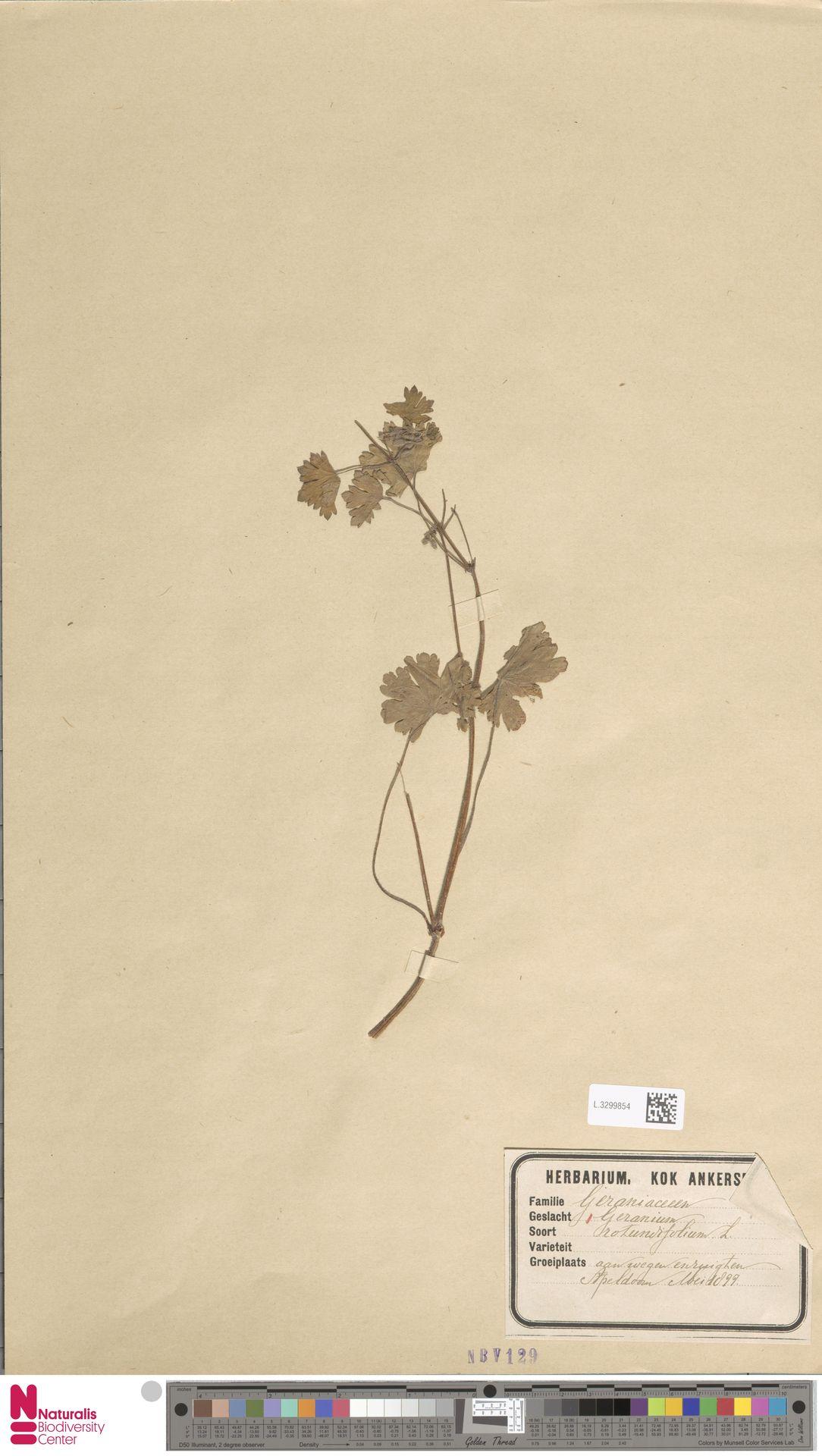 L.3299854 | Geranium rotundifolium L.
