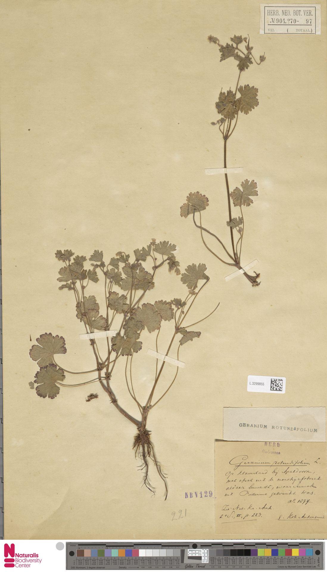 L.3299855 | Geranium rotundifolium L.