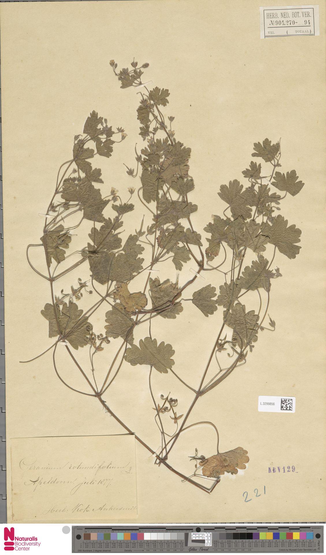 L.3299856 | Geranium rotundifolium L.