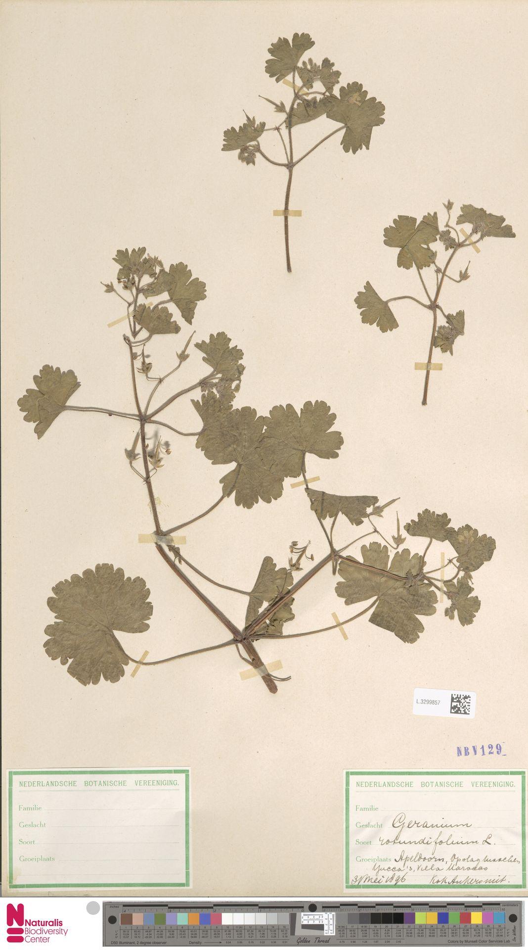 L.3299857 | Geranium rotundifolium L.
