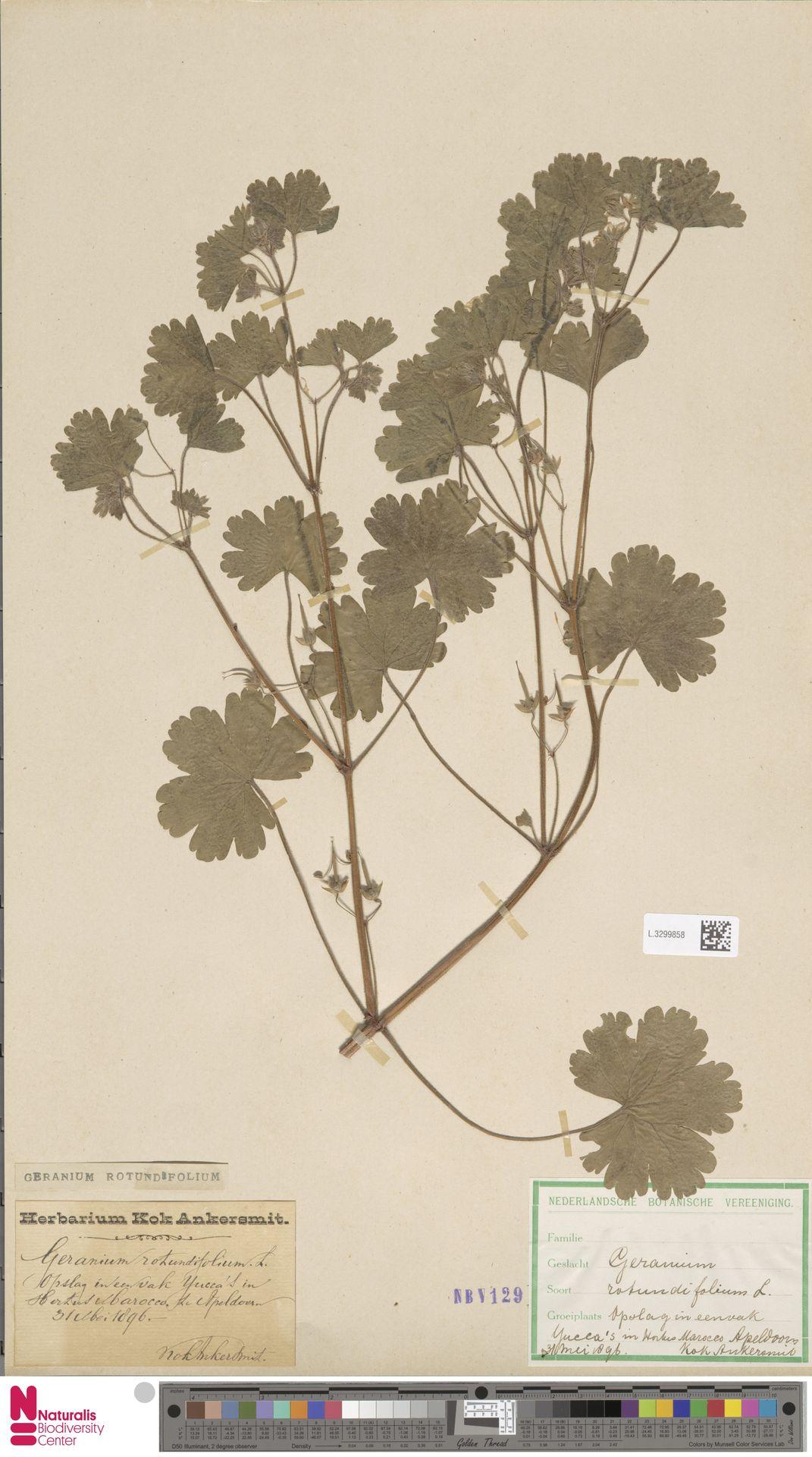 L.3299858 | Geranium rotundifolium L.