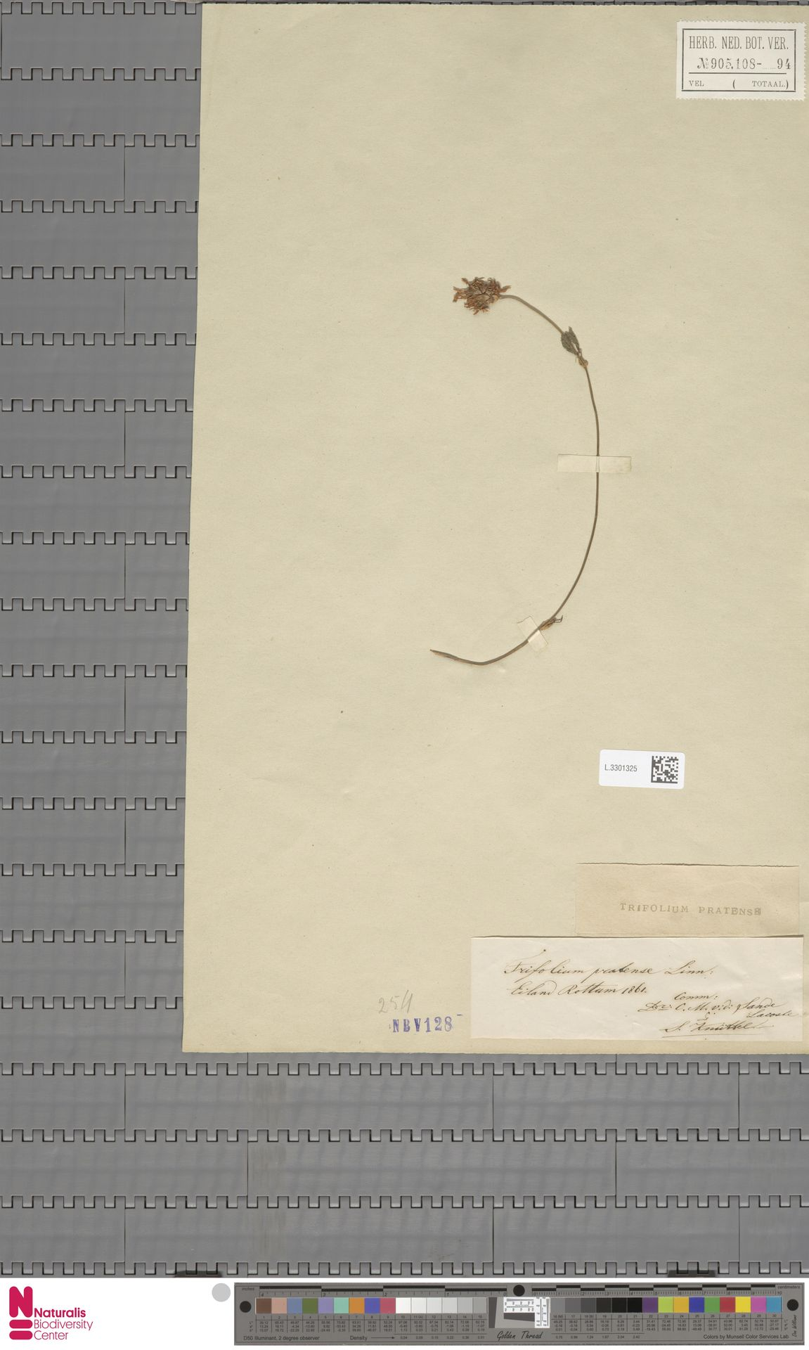 L.3301325 | Trifolium pratense L.