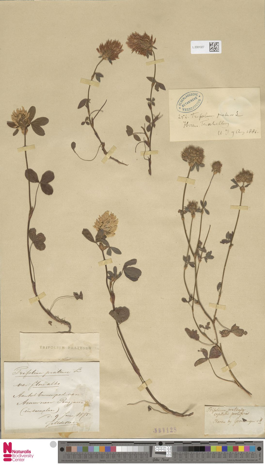 L.3301327 | Trifolium pratense L.