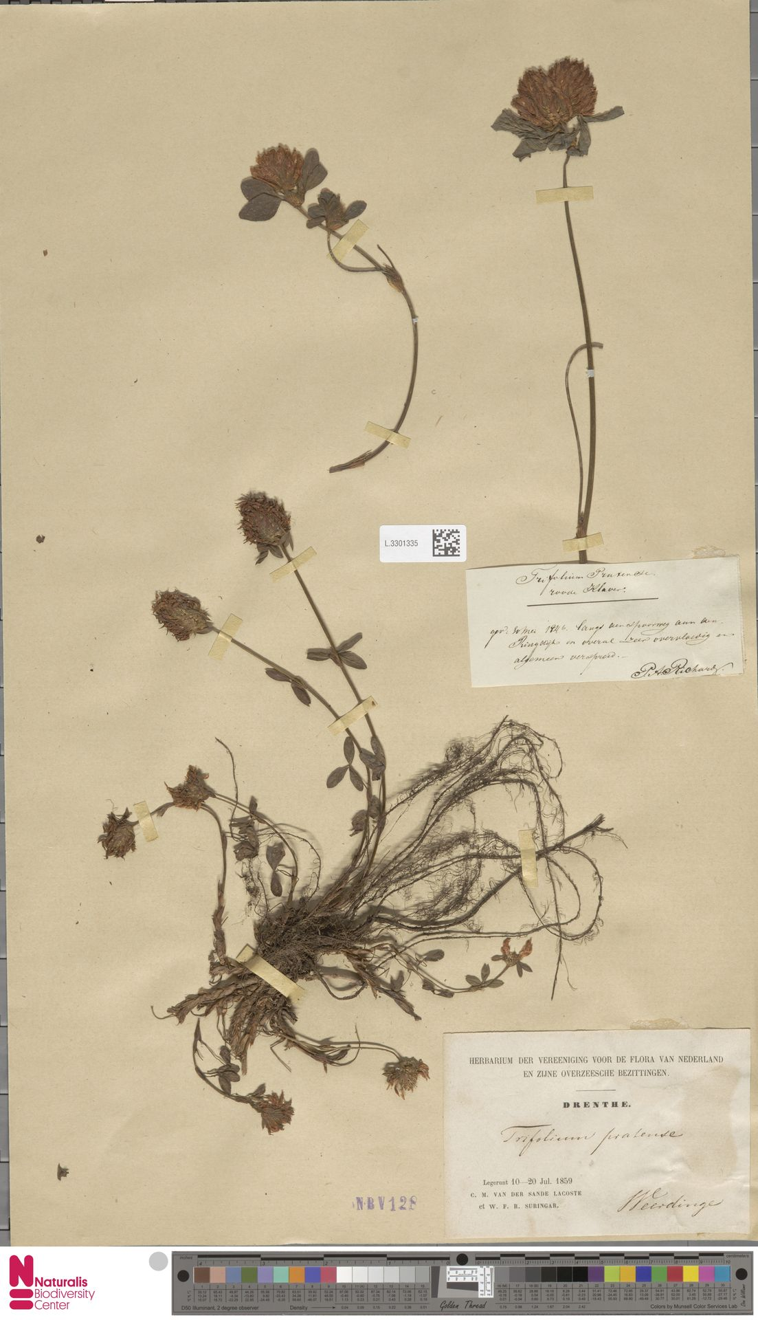 L.3301335 | Trifolium pratense L.