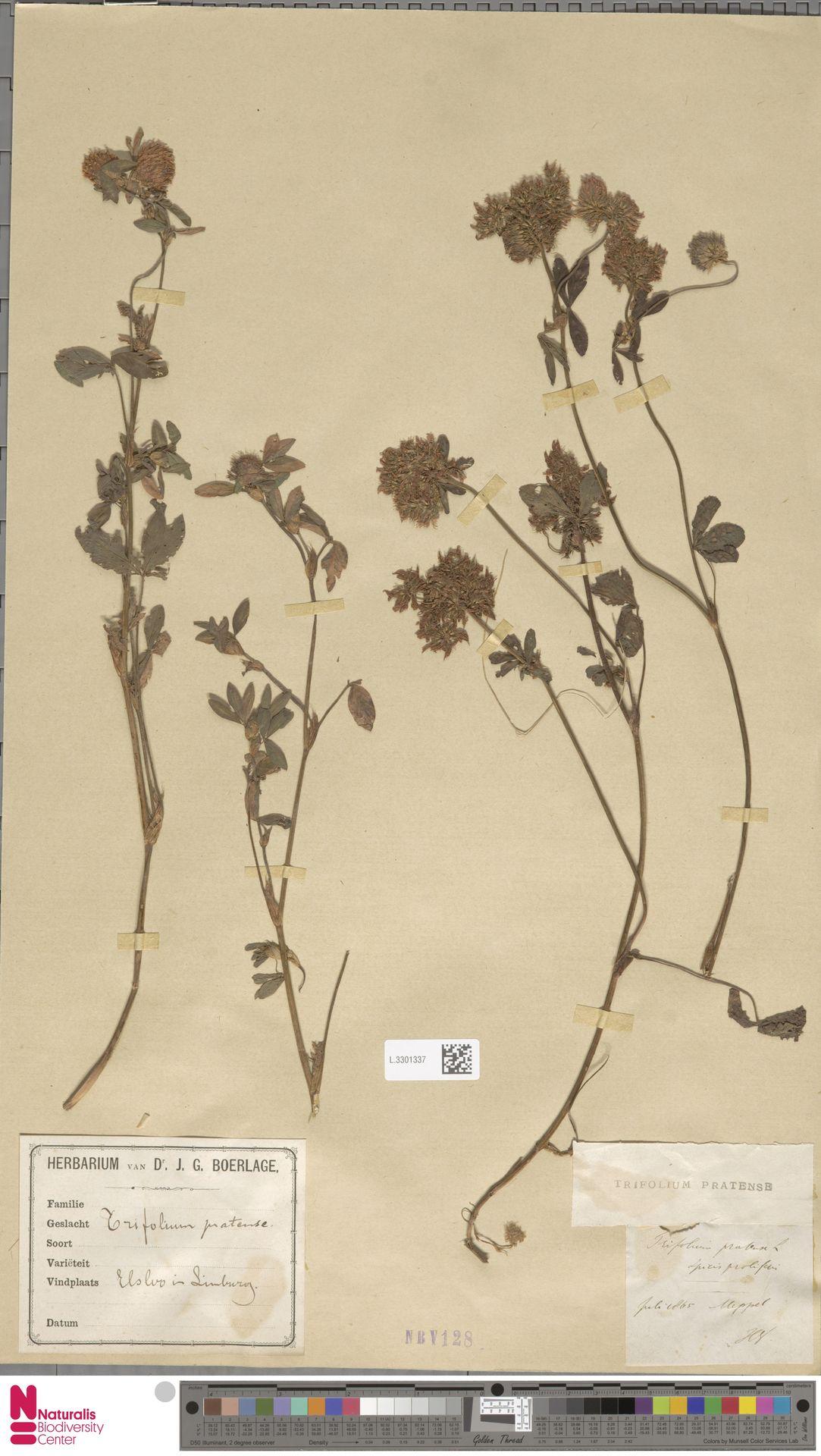 L.3301337 | Trifolium pratense L.