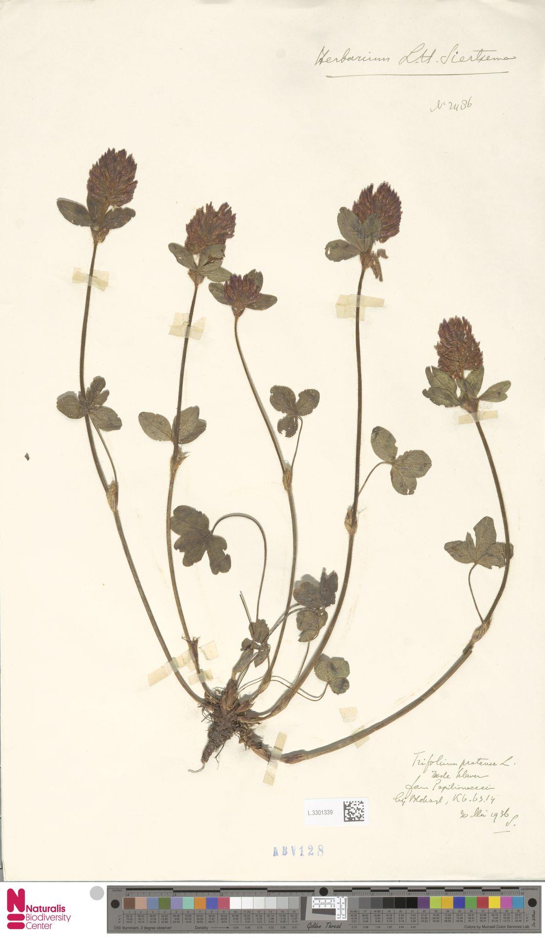L.3301339 | Trifolium pratense L.