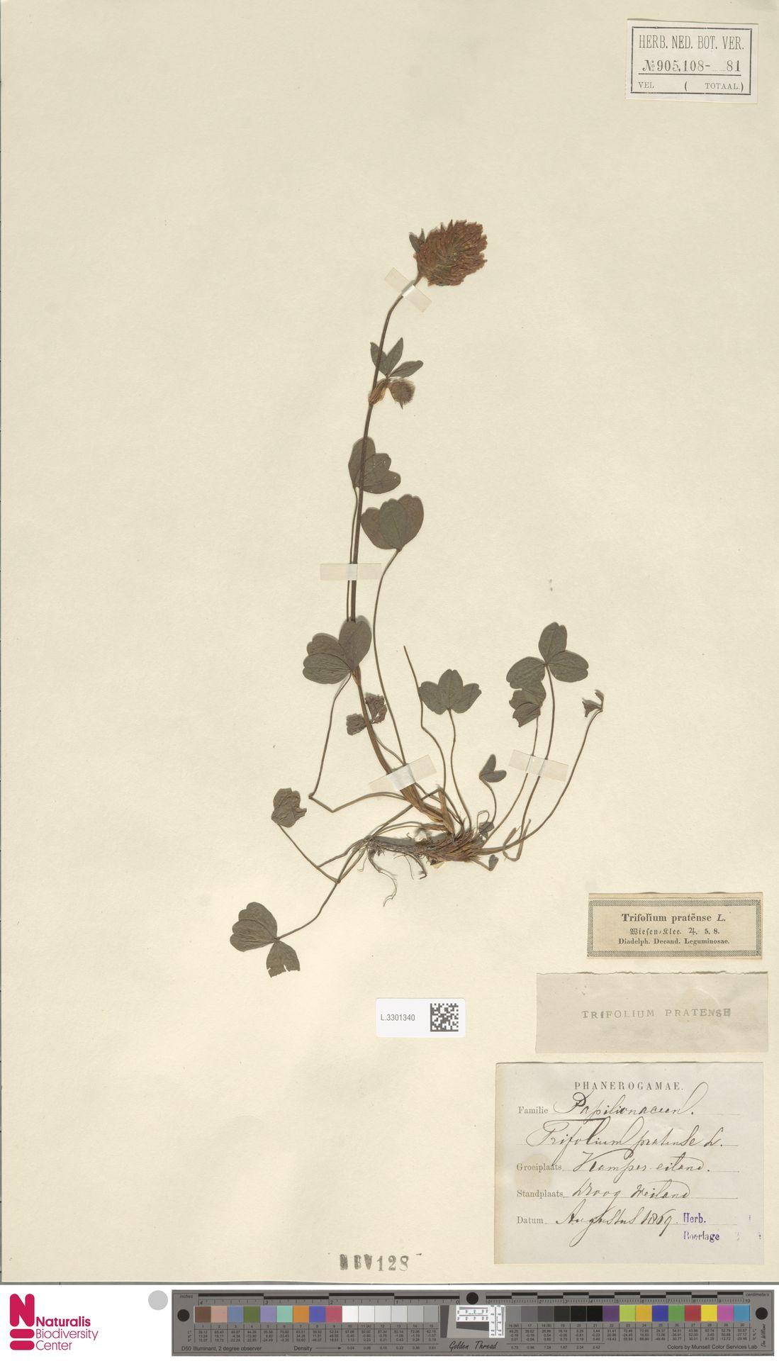 L.3301340 | Trifolium pratense L.