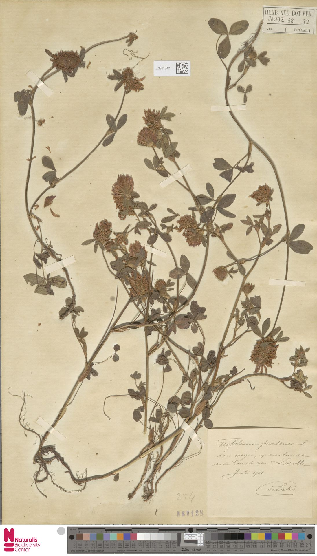 L.3301342 | Trifolium pratense L.