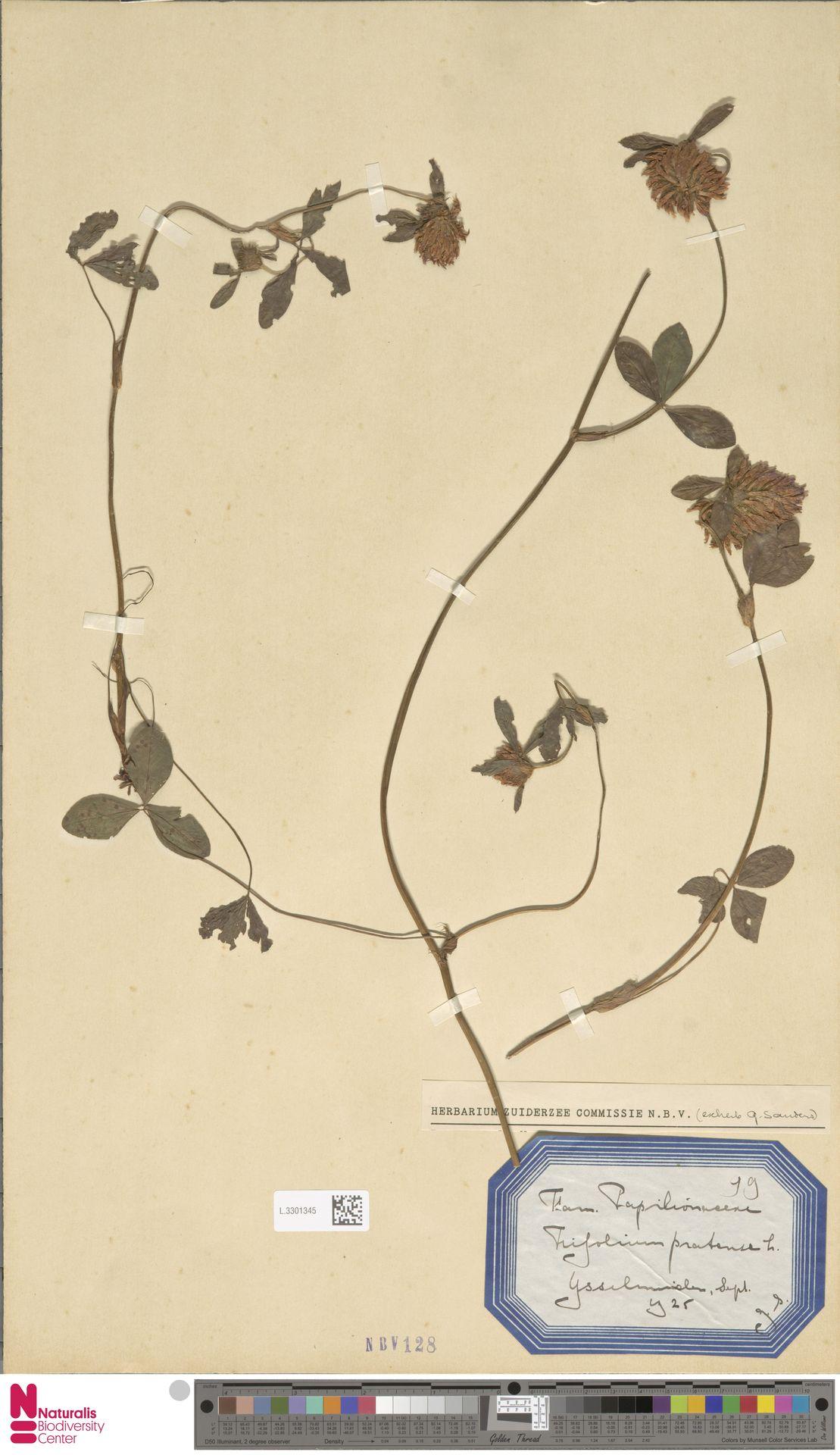 L.3301345   Trifolium pratense L.