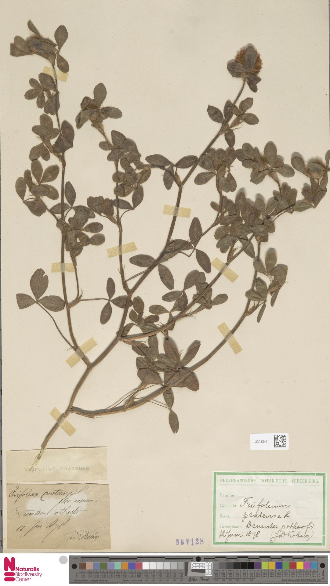 L.3301347 | Trifolium pratense L.