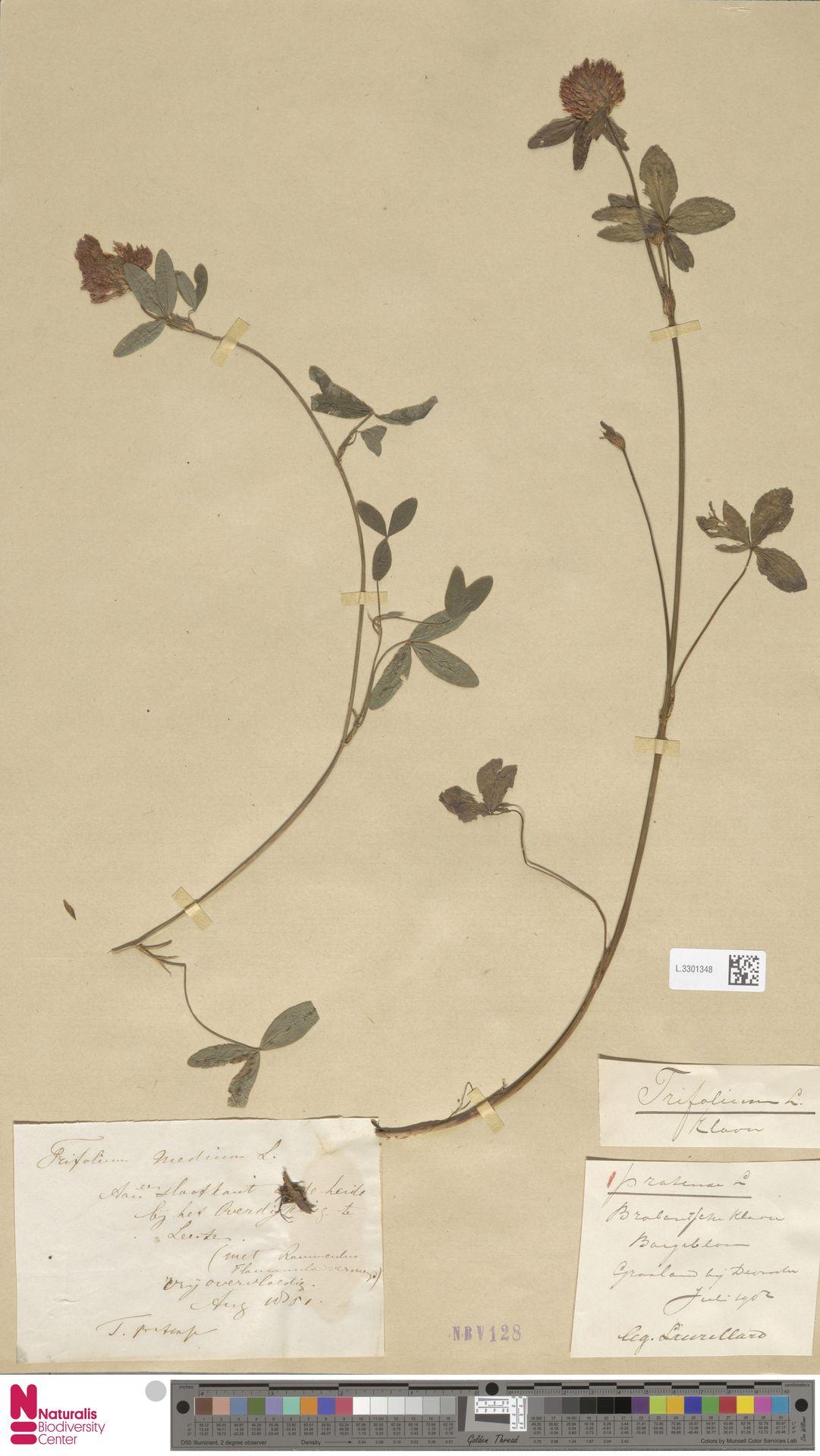 L.3301348   Trifolium pratense L.