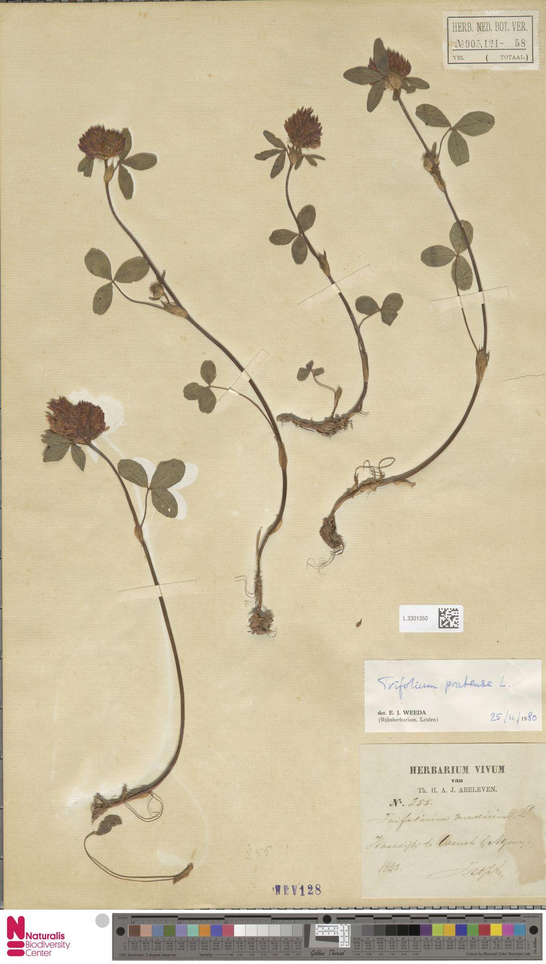L.3301350 | Trifolium pratense L.