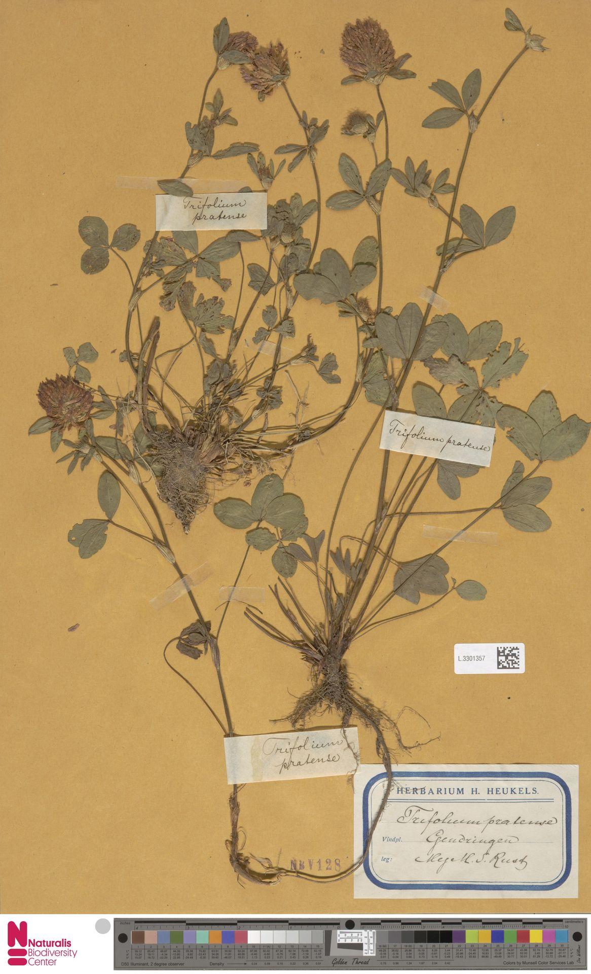 L.3301357 | Trifolium pratense L.