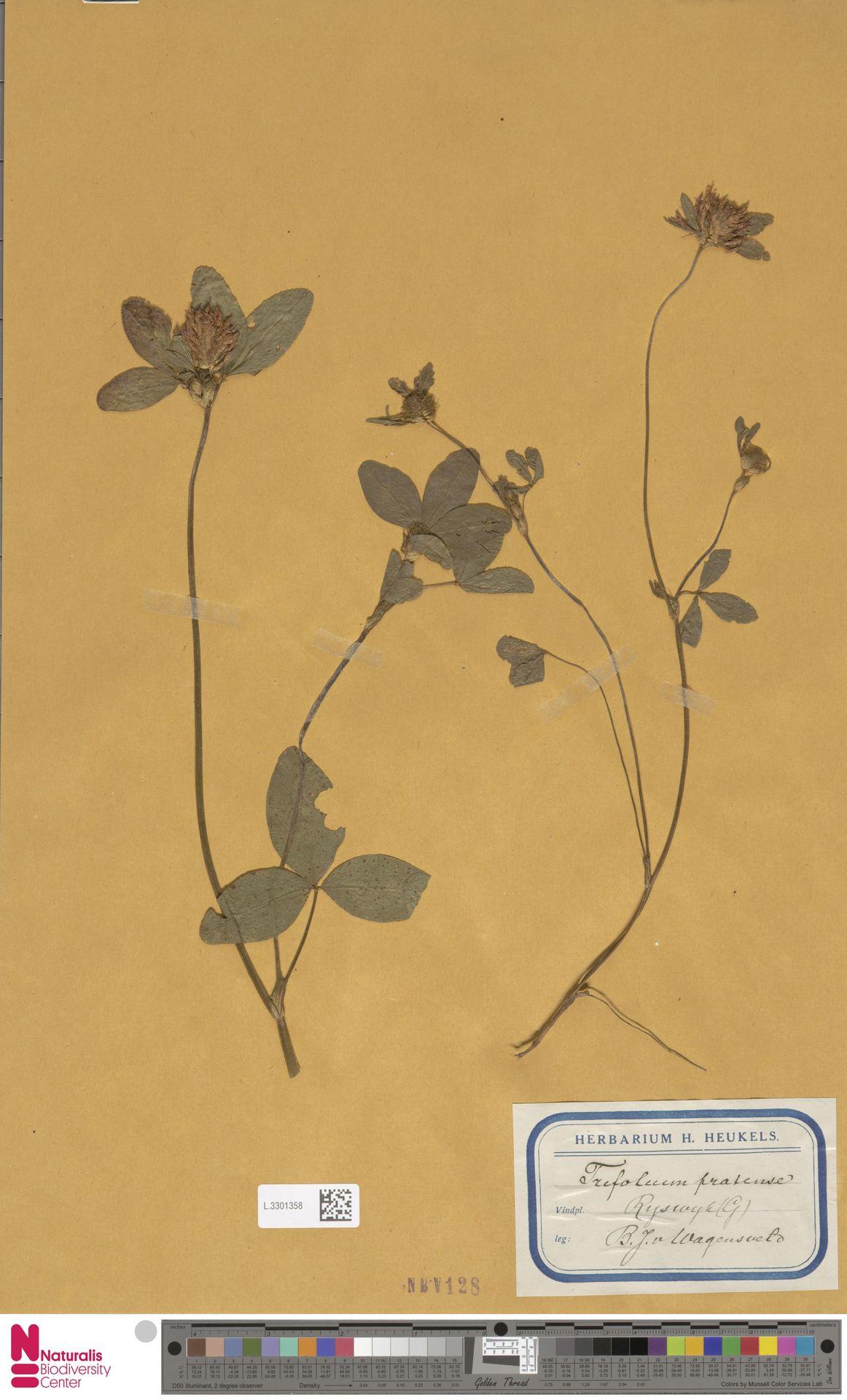 L.3301358 | Trifolium pratense L.