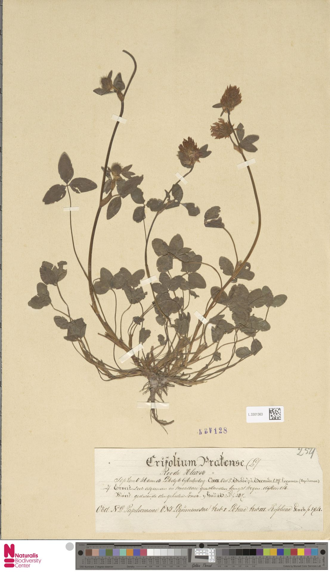 L.3301363 | Trifolium pratense L.