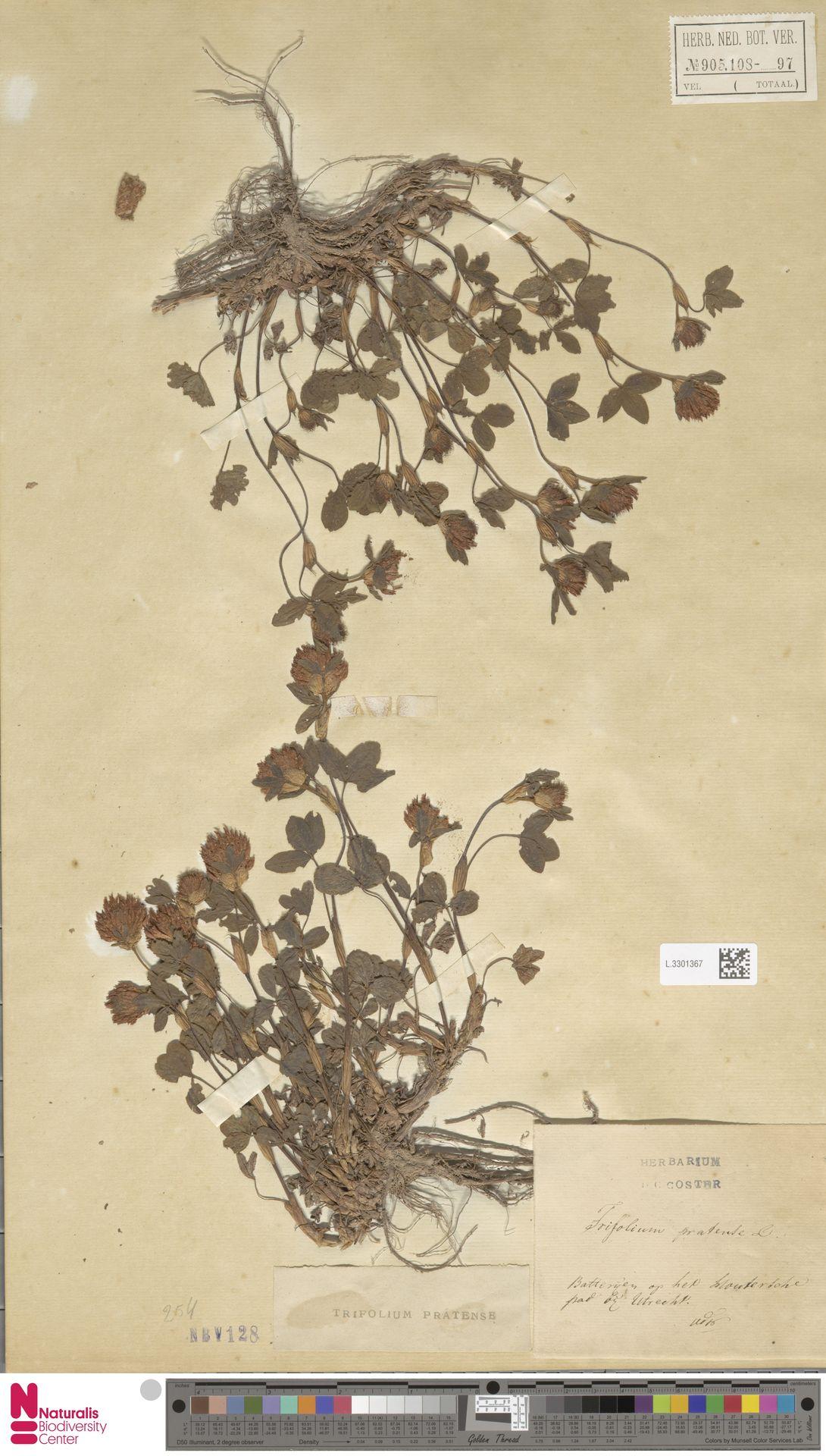 L.3301367 | Trifolium pratense L.