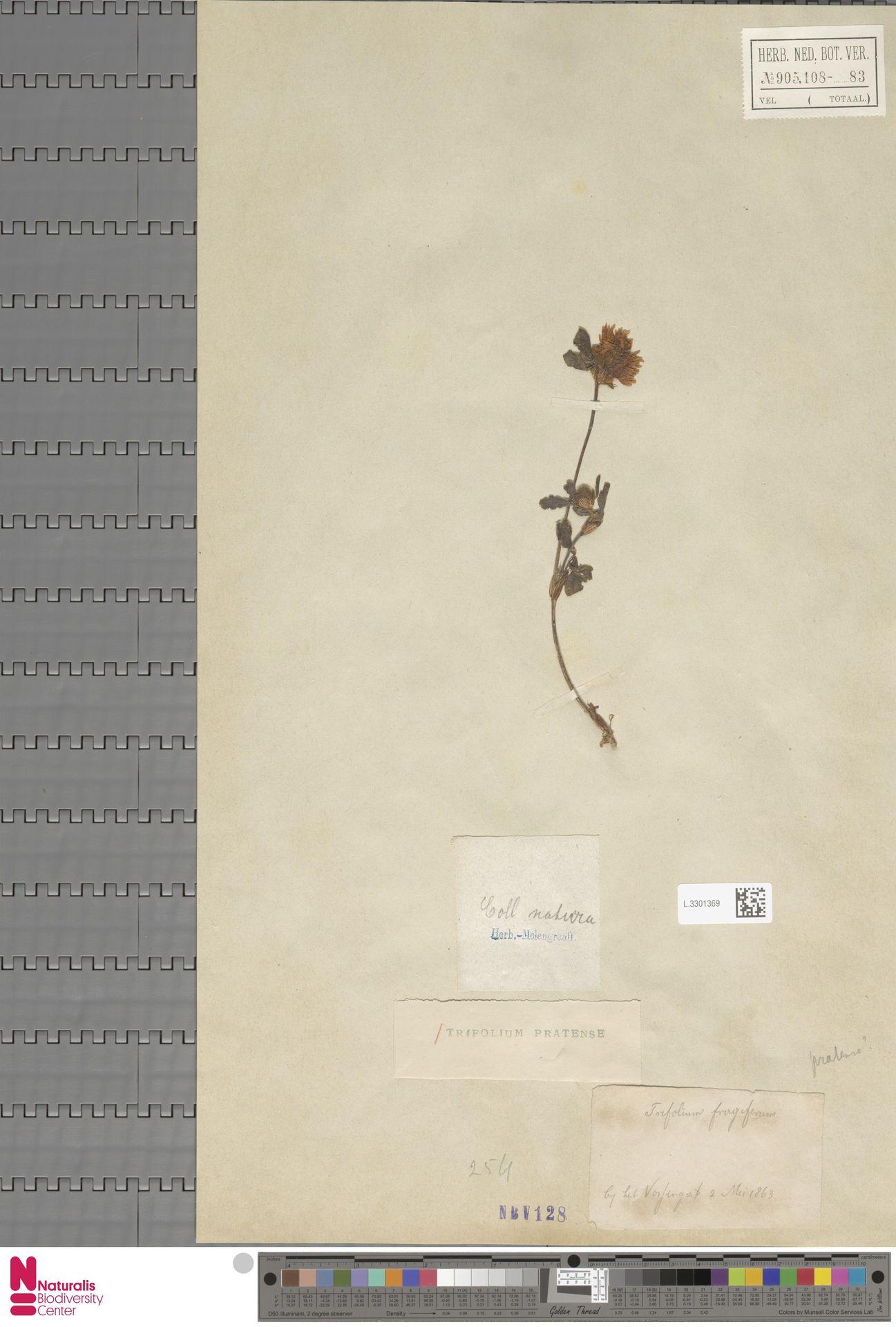 L.3301369   Trifolium pratense L.